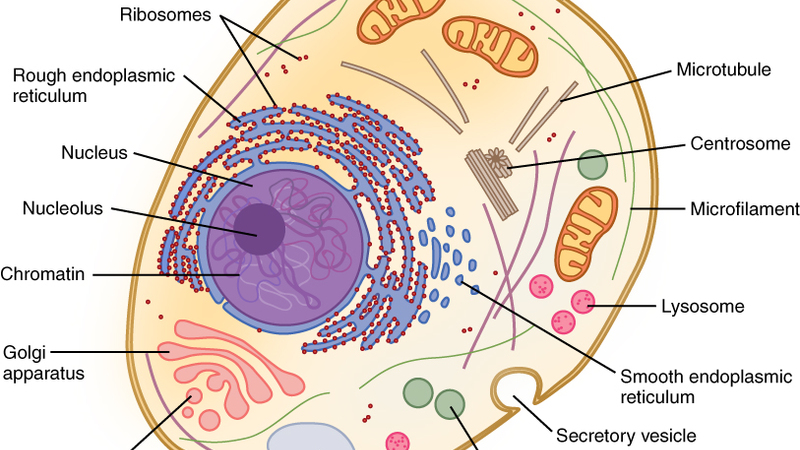 Reference of animal cell, used as inspiration for the icons in Awesome People artwork